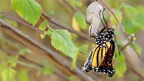 Timelapse-of-a-Monarch-butterfly-Danaus-plexippus-attached-to-its-chrysalis-within-minutes-of-emerging-in-Oak-View-California