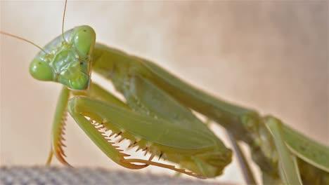 Female-California-Mantis-Stagmomantis-californica-staring-at-the-camera-in-Oak-View-California