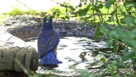 Western-bluebird-washing-in-a-bird-bath-in-Oak-View-California