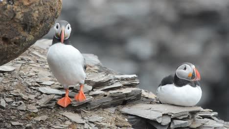 Ein-Paar-Papageientaucher-Während-Eines-Balztanzes-Auf-Im-Krossfjorden-Auf-Spitzbergen-Im-Spitzbergen-Archipel-Norwegenpel