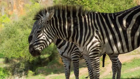 Zebra-04