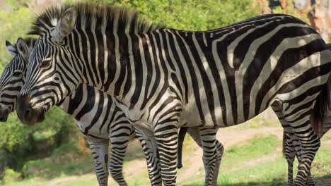 Zebra-05