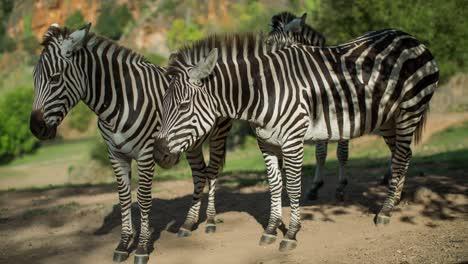 Zebra-12