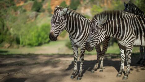 Zebra-13