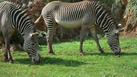 Zebra-Grevy-00