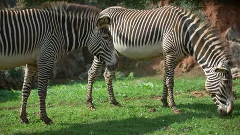 Zebra-Grevy-01
