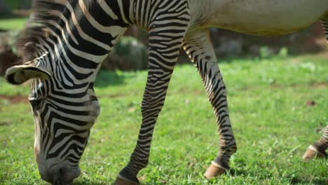 Zebra-Grevy-02
