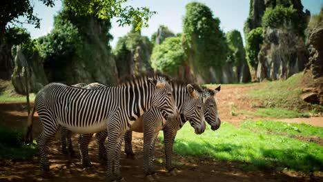 Zebra-Grevy-06