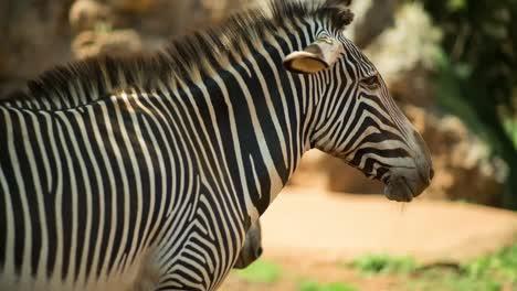 Zebra-Grevy-10