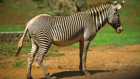 Zebra-Grevy-11