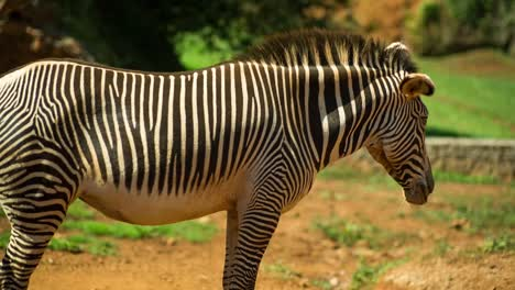 Zebra-Grevy-12