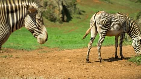 Zebra-Grevy-13