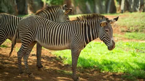 Zebra-Grevy-14