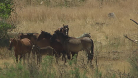 An-Aerial-Of-Wild-Horses-Grazing-In-A-Field