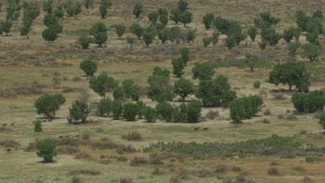 An-Aerial-Of-Wild-Horses-Running-2