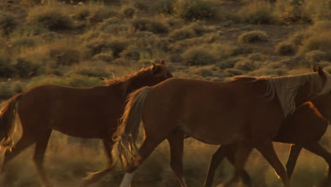 An-Aerial-Of-Wild-Horses-Trotting