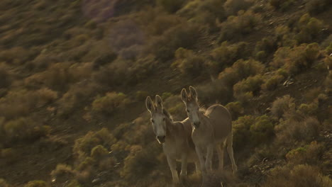 An-Aerial-Of-Wild-Burros-Or-Donkeys-On-A-Cliff