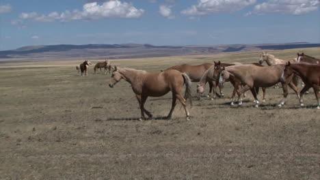 Wild-Horses-Graze-In-Open-Rangeland-In-Wyoming