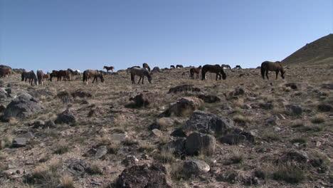 Wild-Horses-Graze-In-Open-Rangeland-In-The-Western-States