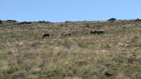 Wild-Horses-And-Burros-Graze-In-Open-Rangeland-In-The-Western-States
