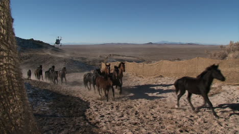 The-Bureau-Of-Land-Management-Rounds-Up-Wild-Horses-Using-Helicopters-1