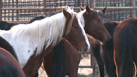 The-Bureau-Of-Land-Management-Rounds-Up-Wild-Horses-And-Loads-Them-Into-Pens-And-Corrals