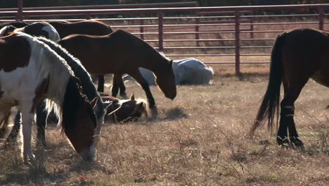 Wild-Horses-Graze-In-A-Pasture-Under-Protection-Of-The-Bureau-Of-Land-Management