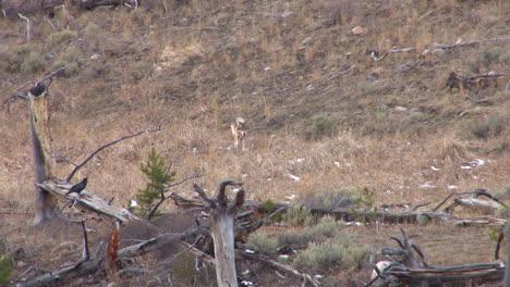 Wölfe-Werden-Im-Yellowstone-Nationalpark-Gesehen-2