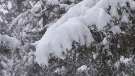 Heavy-Snow-Falls-On-Trees-In-A-Forest-In-Yellowstone-National-Park