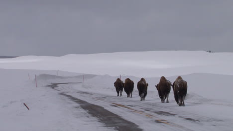 Bison-Buffalo-Graze-And-Walk-In-Yellowstone-National-Park-In-Winter