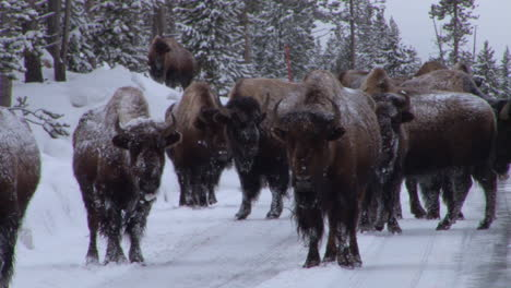 Bison-Buffalo-Graze-And-Walk-In-Yellowstone-National-Park-In-Winter-1