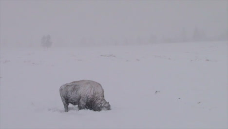 Bison-Buffalo-Graze-And-Walk-In-Yellowstone-National-Park-In-Winter-2
