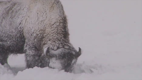 Bison-Buffalo-Graze-And-Walk-In-Yellowstone-National-Park-In-Winter-3
