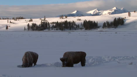 Bison-Buffalo-Graze-And-Walk-In-Yellowstone-National-Park-In-Winter-4