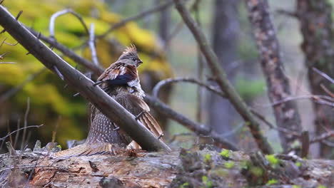 A-Grouse-Sits-On-A-Branch-In-The-Forest