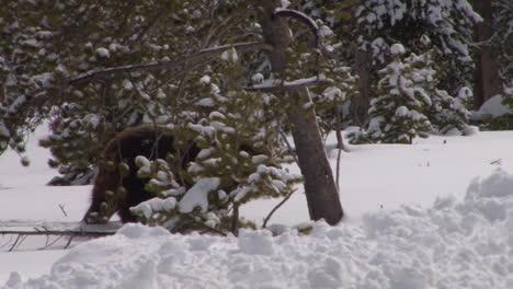 Ein-Grizzlybär-Läuft-Im-Winter-Durch-Den-Tiefschnee