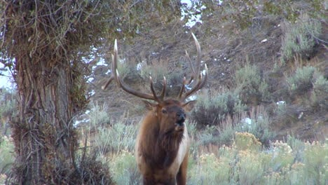 A-Large-Elk-Walks-Through-The-Forest-And-Calls-Out-To-A-Mate-2