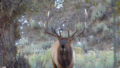 A-Large-Elk-Walks-Through-The-Forest-And-Calls-Out-To-A-Mate-3