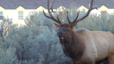 A-Large-Elk-Walks-Through-The-Forest-And-Calls-Out-To-A-Mate-5