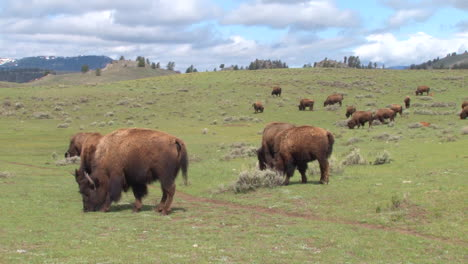 Bison-Buffalo-Graze-And-Walk-In-Yellowstone-National-Park-In-Summer