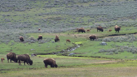 Bison-Buffalo-Graze-And-Walk-In-Yellowstone-National-Park-In-Summer-1