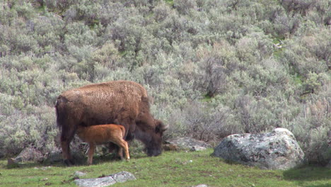 A-Baby-Bison-Suckles-From-Its-Mother