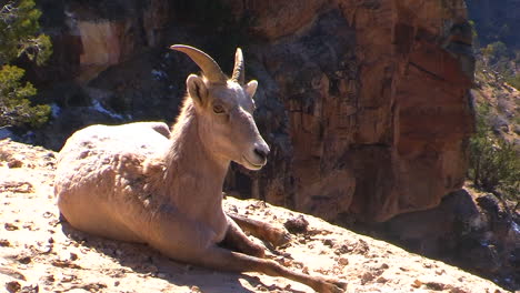 A-Bighorn-Sheep-Lays-On-A-Mountainside