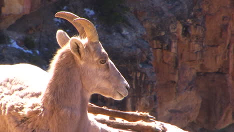 A-Bighorn-Sheep-Lays-On-A-Mountainside-1