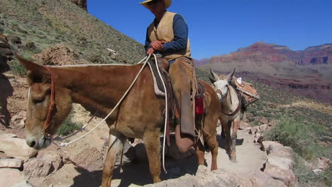A-Pack-Mule-Team-Navigates-The-Trail-To-The-Bottom-Of-The-Grand-Canyon-1