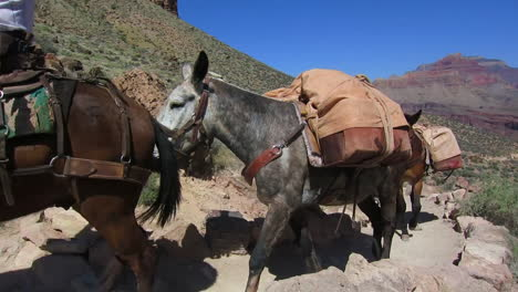 A-Pack-Mule-Team-Navigates-The-Trail-To-The-Bottom-Of-The-Grand-Canyon-2
