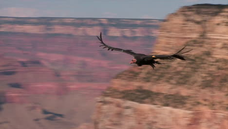 A-Condor-Soars-Over-Grand-Canyon-National-Park