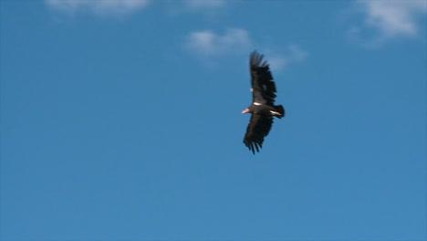 A-Condor-Soars-Over-Grand-Canyon-National-Park-3