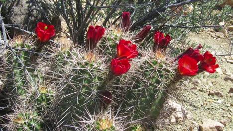 Cactus-Flowers-Bloom