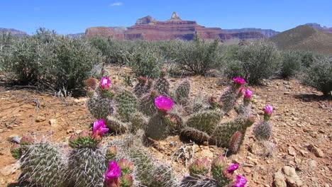 Cactus-Flowers-Bloom-2